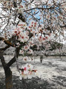 Ametlers de la varietat marcona en plena floració./FOTO EVA