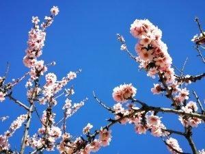 Unes rames d'ametler en plena floració./FOTO MADE IN JIJONA