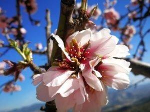 Un ameteler en flor fa unes setmanes a la província d'Alacant. El fruit ja hi es cuallat./FOTO EVA