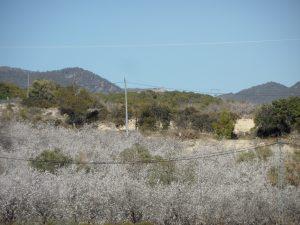 Plantación reciente de almendros en la vall de Xixona./FOTO MADE IN JIJONA