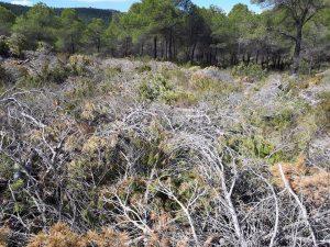 Ramas secas y tiernas esparcidas junto a la pinada, en la zona de Vivens./FOTO MADE IN JIJONA