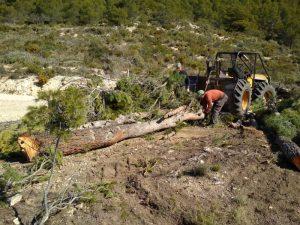Trabajadores de la empresa maderera de Moixent preparando los troncos de pino para cargarlos en el camión./FOTO CONCEJALIA MEDIO AMBIENTE