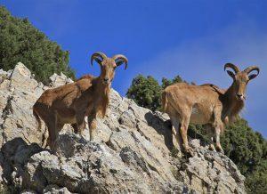 Dos ejemplares adultos de cabra arrui o del Atlas en una zona escarpada, su hábitat natural.