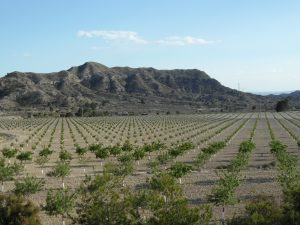 Detalle parcial de la gran plantación de almendros en la partida Espartal de Xixona, esta semana./FOTO MADE IN JIJONA