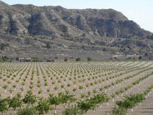 Una de las nuevas plantaciones de almendros en el la parte sur del término municipal de Jijona./FOTO MADE IN JIJONA