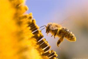 Las abejas y otros insectos polinizadores son fundamentales para nuestros ecosistemas y la biodiversidad© 123RF/European Union–EP