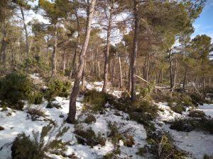 Pinos adultos tumbados en el interior del bosque de Vivens./FOTO MADE IN JIJONA