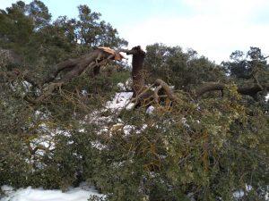 Ejemplar de una gran carrasca tumbada por el peso de la nieve y la furia del viento en el camino de Vivens de Xixona./FOTO MADE IN JIJONA