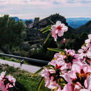 Un almendro en flor, con la panorámica del castillo de Xixona al fondo./FOTO MIGUEL VALOIS