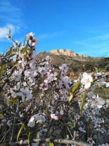 Almendros marcones floreciendo con la omnipresente Penya Migjorn al fondo./FOTO MIGUEL VALOIS
