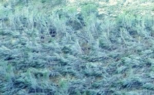 Detalle de una de las laderas de pinada de Vivens (Carrasqueta) con miles de pinos tumbados, en imagen de hoy mismo./FOTO MADE IN JIJONA