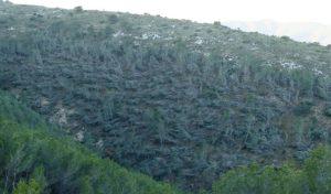 Una de las laderas de solana del paraje natural de Vivens, en Xixona, totalmente devastado por la tormenta con miles de pinos tumbados y, enfrente, la zona de umbría, con los árboles mucho menos afectados./FOTO MADE IN JIJONA